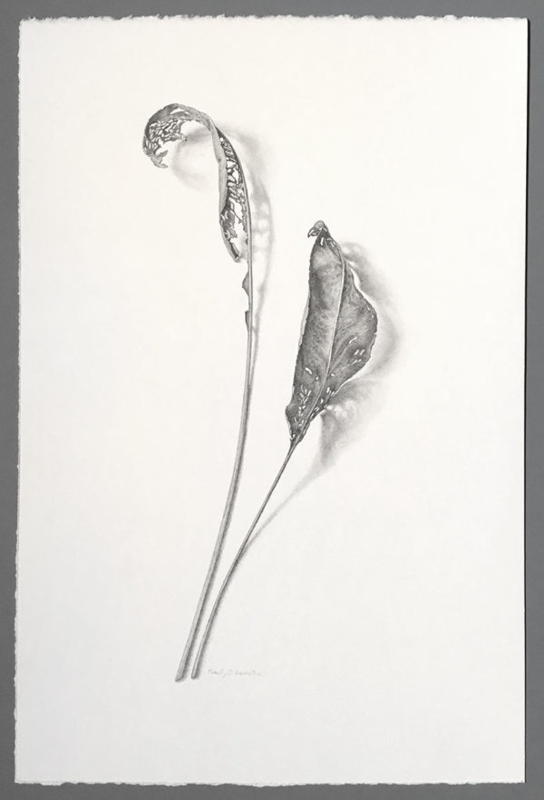Photo of Stiff goldenrod leaves, mined drawing
